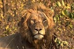 Male lion at sunrise